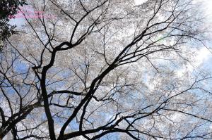 13源太桜_3911