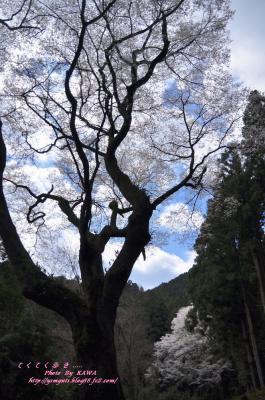 15源太桜_3920
