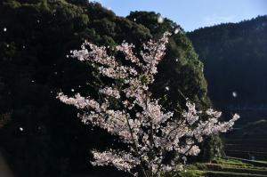 6桜_4322