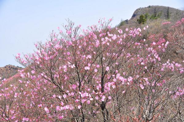 1アケボノツツジ西赤石山09.05.09