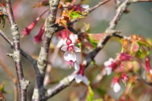 11桜_60770001