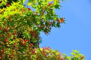 7紅葉の種