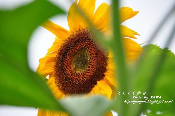 5向日葵_8882