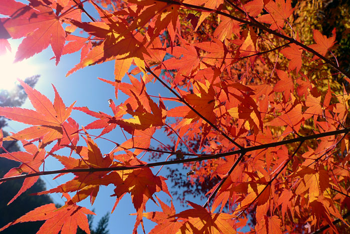 丹生川 神社の紅葉