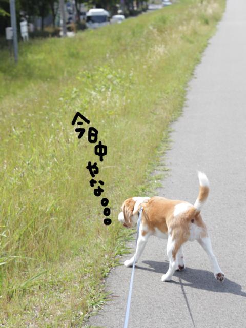 0526オレ様はレモンビーグル6