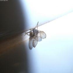 250px-Clogmia_albipunctatus.jpg