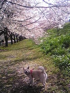養老桜 Hanako