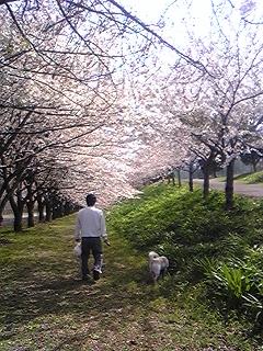 養老桜Hanako散歩