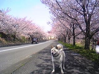 養老桜とHanako 2