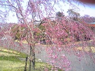 養老桜垂れ桜