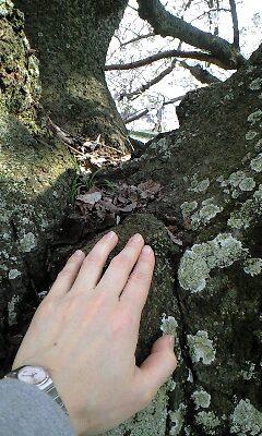 佐保川樹齢150年