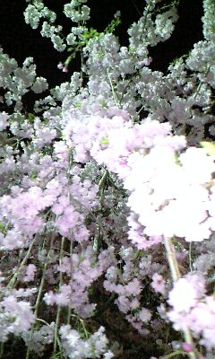 大垣城枝垂れ桜下から見てみよう!