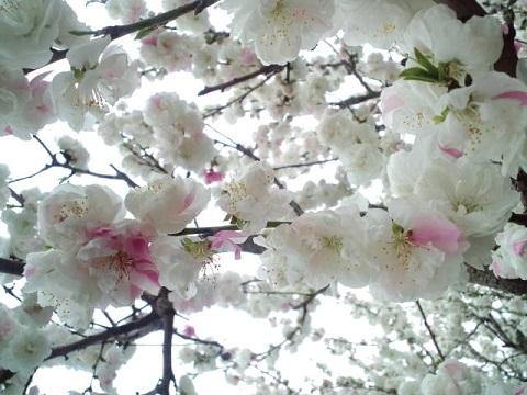 2011 桜2