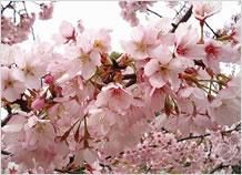 桜満開up