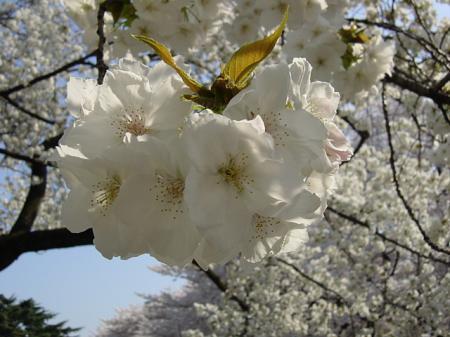 2009花見19