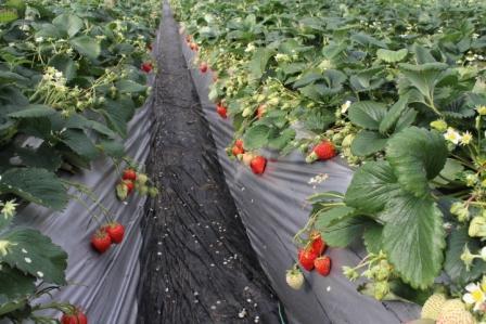 イチゴがたくさん