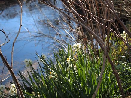水辺に咲く水仙