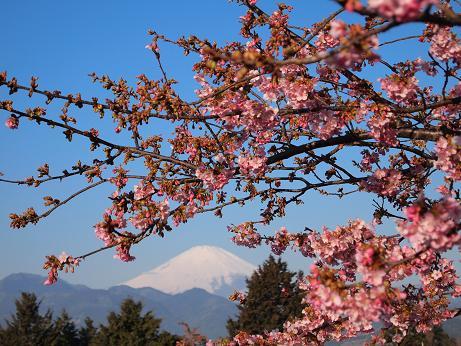 松田の桜 4
