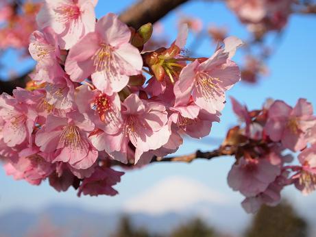 松田の桜 2