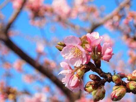 松田の桜 3