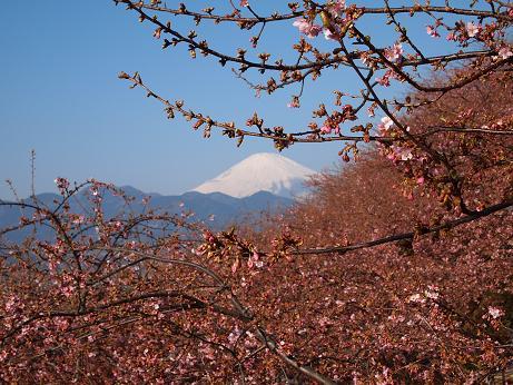 松田の桜 5