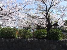 段葛_桜2