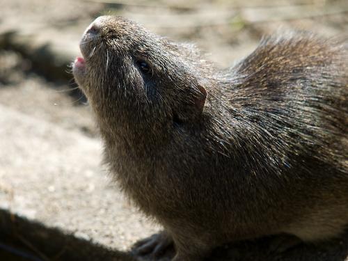 埼玉こども動物自然公園のテンジクネズミさん