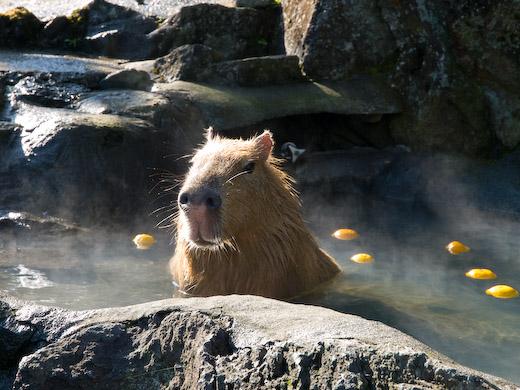 ゆず湯に入るカピバラ