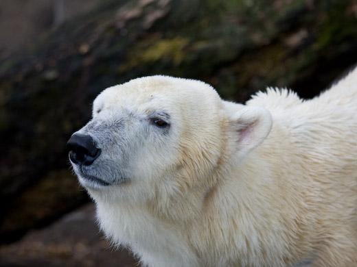 上野動物園のシロクマ