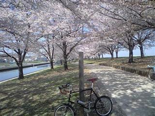 赤羽桜堤緑地の桜