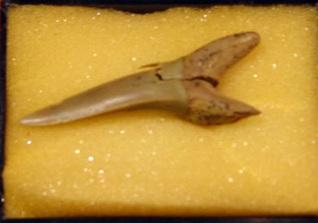 ネズミザメ目の歯