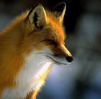 falchion・犬狐