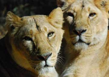 インドライオン02