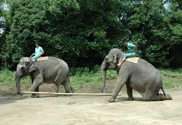 インドゾウの訓練