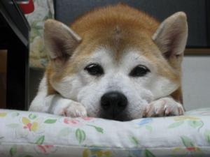 犬は真正面から見たらあかんで。変な顔に見えるから。