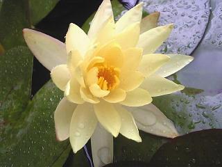 0900629_00002バス停の睡蓮の花