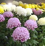 小諸市の懐古園で9日まで菊花展開催